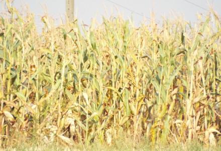 Szacowanie strat w gospodarstwach dotkniętych suszą